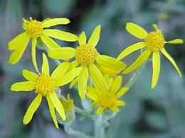 Woolly rounded leaf ragwort